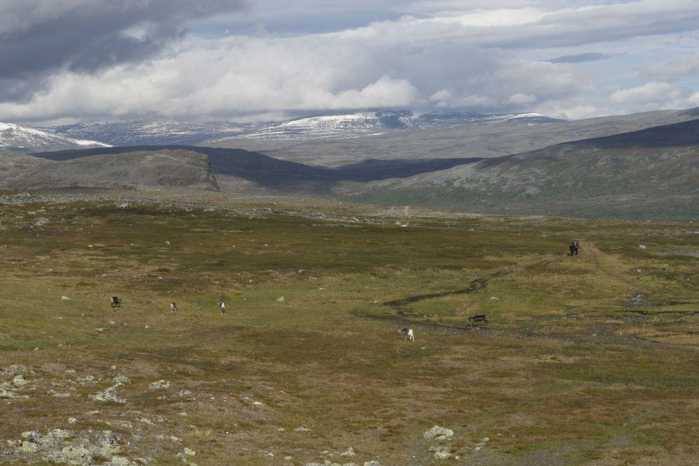 A group of reindeers crossing