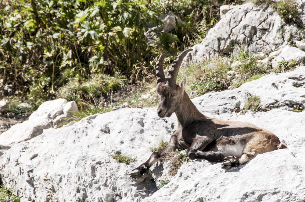 Alp-Ibex